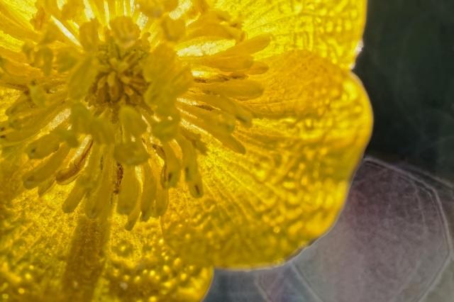Blume, Gelb durchscheinend