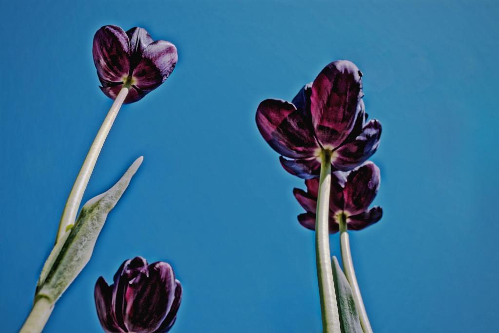 Tulpen aus der Froschperspektive