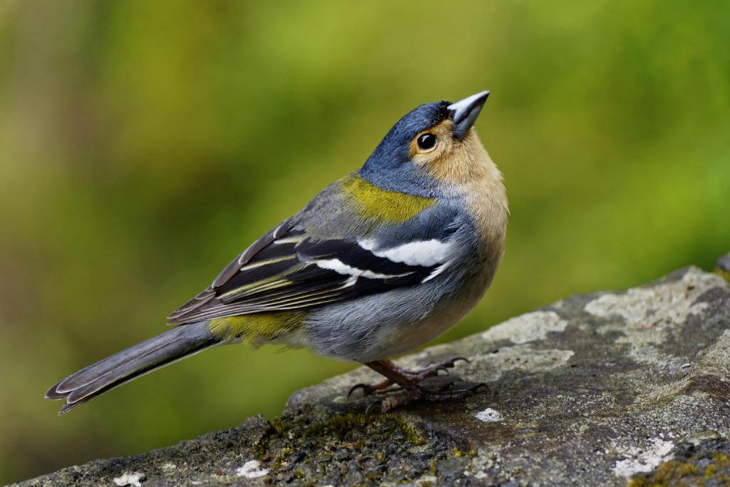 Madeira Buchfink - bildschöner Vogel